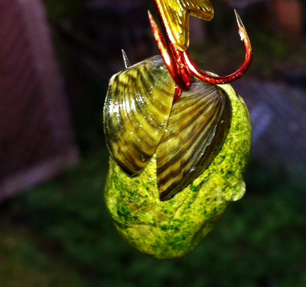 Zebra Mussels 101 | Lake Winnipeg Foundation
