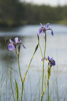Blue iris in a wetland