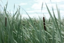 A close-up photograph of cattails in Netley-Libau Marsh
